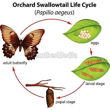 ciclo de vida de rabo de